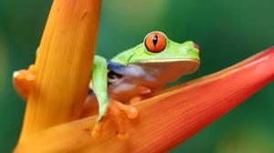 Red Eyed Tree Frog Frog Amphibian 2800x1867 Wallpaper