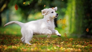 Baby Animal Dog Labrador Retriever Pet Puppy 2000x1333 Wallpaper