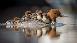 Merganser Duck 3840x2160 wallpaper