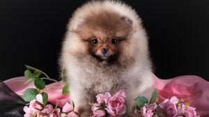 Animal Baby Animal Cute Dog Flower Pet Pink Rose Puppy Rose Spitz 3600x2282 Wallpaper