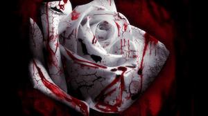 Blood Flower Rose White Flower White Rose 2560x2048 Wallpaper