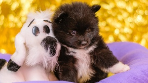 Animal Pomeranian 2560x1707 Wallpaper