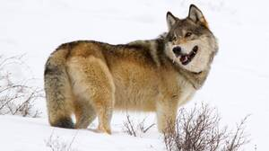 Animal Wolf 4000x3051 Wallpaper