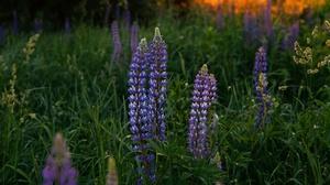 Flower Lupine Meadow 5789x3859 Wallpaper