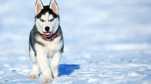 Blue Eyes Dog Husky Pet Puppy Snow 2000x1496 Wallpaper