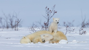 Baby Animal Bear Cub Polar Bear Snow Wildlife Predator Animal 2048x1365 wallpaper