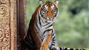 Animal Tiger 1920x1200 Wallpaper