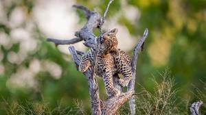 Baby Animal Cub Wildlife Depth Of Field Big Cat 2000x1368 Wallpaper
