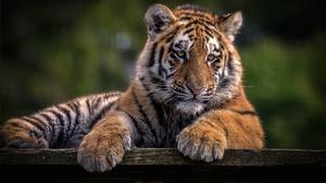 Wildlife Baby Animal Cub Big Cat 4975x3144 Wallpaper