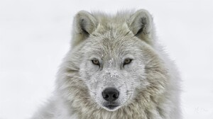Snow White White Wolf Winter Wolf Predator Animal 1920x1080 Wallpaper