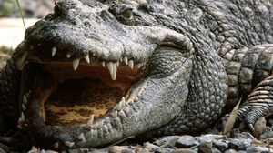 Animal Crocodile 1600x1200 Wallpaper