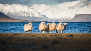 Mountain Nature Sheep 2047x1214 Wallpaper
