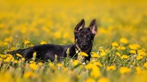 Baby Animal Dandelion Dog German Shepherd Pet Puppy Yellow Flower 2000x1125 Wallpaper