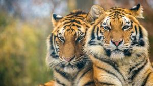 Big Cat Tiger Wildlife Predator Animal 2048x1287 wallpaper