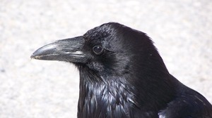Bird Raven 3072x2304 Wallpaper
