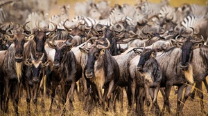 Antelope Wildebeest Wildlife 3000x2000 Wallpaper