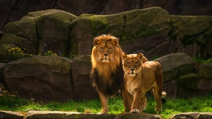Big Cat Couple Lion Wildlife Predator Animal 3840x2400 wallpaper