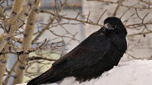 Animal Crow 2904x2164 Wallpaper