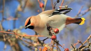 Animal Berry Bird Cedar Waxwing 4978x3319 wallpaper