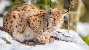 Big Cat Lynx Wildlife Predator Animal 2048x1323 Wallpaper