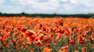 Depth Of Field Flower Poppy Red Flower Summer 5184x2916 wallpaper