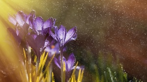 Bokeh Crocus Flower Macro Nature Water Drop 2000x1333 Wallpaper