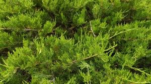 Plants Green Trees Nature Texture Thuja 4000x3000 Wallpaper