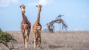 Baby Animal Giraffe Savannah Wildlife 3000x2000 Wallpaper