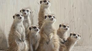 Animal Meerkat 2048x1365 Wallpaper