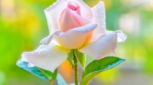 Close Up Flower Pink Flower Rose 2048x1367 wallpaper