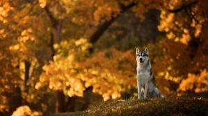 Depth Of Field Dog Fall Husky Pet 5040x3150 Wallpaper
