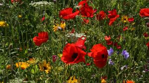 Flower Nature Poppy Red Flower Summer 3000x2000 Wallpaper