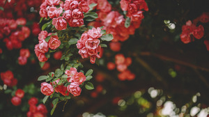 Flowers Nature Landscape Red Plants Forest Field Bushes Grass Photography Leaves Green Roses Rose Co 1280x853 wallpaper