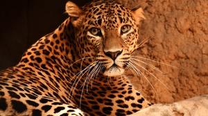 Animal Leopard 3840x2400 Wallpaper