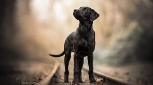 Dog Pet Depth Of Field Baby Animal Labrador 2048x1365 Wallpaper