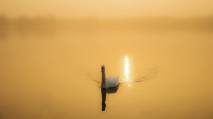 Swan Bird Wildlife 6950x3910 Wallpaper