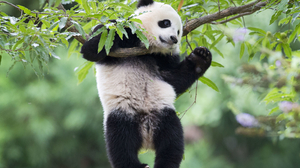 Animal Branch Cute Panda 3000x2428 Wallpaper