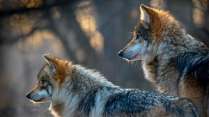 Wildlife Wolf Predator Animal 2048x1280 wallpaper