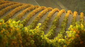 Fall France Hill Vineyard 1920x1080 Wallpaper
