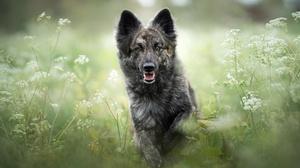 Shiloh Shepherd Dog Pet 2048x1366 Wallpaper