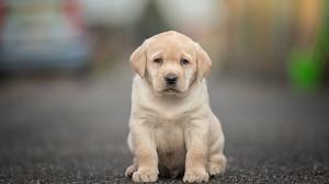 Baby Animal Depth Of Field Dog Labrador Retriever Puppy 2048x1365 Wallpaper