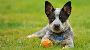 Dog Pet Puppy 1920x1200 Wallpaper