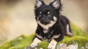 Chihuahua Dog Pet 5136x3585 wallpaper