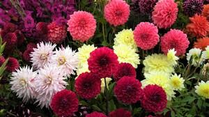 Colorful Dahlia Earth Field Flower 3000x2250 Wallpaper