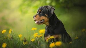 Dog Pet Puppy Baby Animal Dandelion 2048x1365 Wallpaper