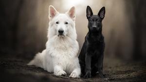 Baby Animal German Shepherd Pet Puppy Swiss Shepherd 2048x1365 wallpaper