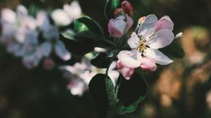 Apple Blossom Branch Flower Spring 4898x3265 Wallpaper