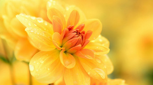 Dahlia Flower Water Drop Yellow Flower 1920x1200 Wallpaper
