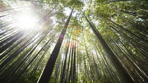 Bamboo Forest Sunbeam Tree Treetops 4256x2832 Wallpaper