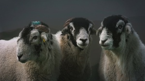 Animal Sheep 3840x2160 Wallpaper